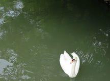 Un cygne dans un étang vert Image stock