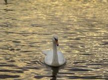 Un cygne dans des rippples d'or Photographie stock libre de droits
