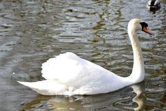 Un cygne dans le lac Photo libre de droits