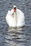Un cygne dans une natation de lac avec le revêtement avant Photographie stock