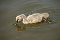 Un cygne de bébé Photo libre de droits