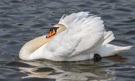 Un cygne de repos à un lac local images libres de droits