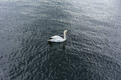 Un cygne simple nage dans l'eau de lac image stock