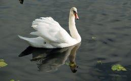 Un cygne sur l'eau foncée Images libres de droits