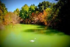 Un cygne sur le fleuve Photo stock