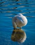 Un cygne sur les rivages du lac supérieur de Zurich, Rapperswil, Sankt Gallen, Suisse images stock