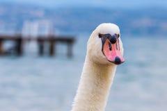 Un cygne, une tête et un cou vus de l'avant avec un lac et whar photographie stock