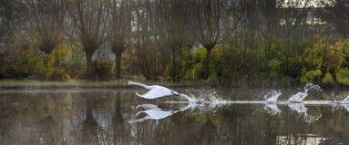 Un cygne volant avec des ailes répandues et des pas causant l'eau Images stock