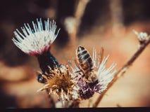 Un détail sur la tête et les palpeurs de l'abeille européenne de miel, mellifera d'api, se reposant sur la fleur de chardon Le co image stock