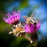 Un détail sur la tête et les palpeurs de l'abeille européenne de miel, mellifera d'api, se reposant sur la fleur de chardon Le co images libres de droits