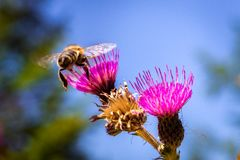 Un détail sur la tête et les palpeurs de l'abeille européenne de miel, mellifera d'api, se reposant sur la fleur de chardon Le co images stock