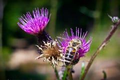 Un détail sur la tête et les palpeurs de l'abeille européenne de miel, mellifera d'api, se reposant sur la fleur de chardon Le co photo stock