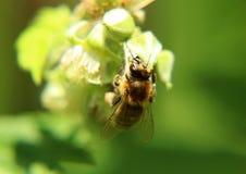 Un détail sur la tête et les palpeurs de l'abeille européenne de miel, mellifera d'api, se reposant sur la fleur de framboise image stock