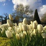 Un día con los tulipanes blancos Fotos de archivo libres de regalías