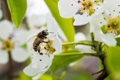 Un día de primavera fino, una abeja sentada en una flor, recoge el nectar_ Imágenes de archivo libres de regalías