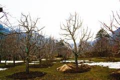 Un día de Sunshining en Manali con el manzano y la nieve en jardín foto de archivo libre de regalías