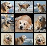 Un día a partir de la vida del perro perdiguero de oro - collage Fotos de archivo libres de regalías