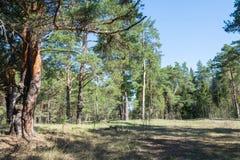 Un día soleado en un bosque del pino Fotografía de archivo