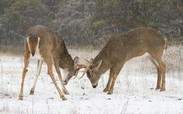 Un dólar blanco-atado de los ciervos alrededor a luchar con otro dólar durante la rodera en la luz del otoño de la madrugada fotos de archivo
