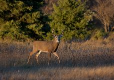 Un dólar blanco-atado de los ciervos en la luz de la última hora de la tarde durante la rodera imagen de archivo