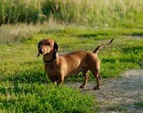Un dachshund Fotografía de archivo libre de regalías