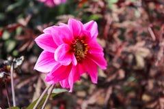 Un dahlia assez rose et jaune avec une abeille rampant là-dessus Image stock