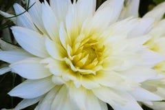 Un dahlia d'isolement dans un jardin Dahlia jaune image stock