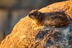 Un Dassie, klipspringer chez Augrabies tombe coucher du soleil du Cap-du-Nord Afrique du Sud de parc national images libres de droits