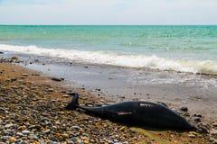 Un dauphin mort se trouvant sur la plage Photos stock