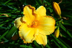 Un daylily grande y amarillo imagenes de archivo