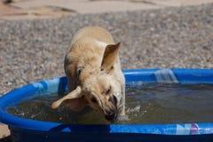 Un de cinéma lent de Labrador de elle secouant sa tête humide Images libres de droits