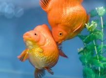 Un de poissons d'ornamental d'animal familier de les plus populaires Photos libres de droits