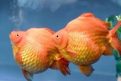 Un de poissons d'ornamental d'animal familier de les plus populaires Images stock