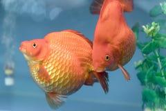 Un de poissons d'ornamental d'animal familier de les plus populaires Photo libre de droits