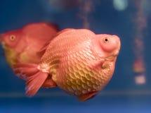 Un de poissons d'ornamental d'animal familier de les plus populaires Photographie stock