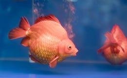 Un de poissons d'ornamental d'animal familier de les plus populaires Image libre de droits