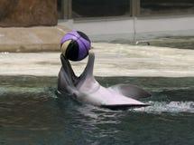 Un delfín juega con un baloncesto en la superficie Imagenes de archivo