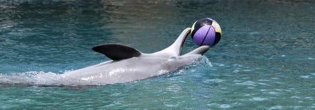 Un delfín juega con un baloncesto en la superficie Fotos de archivo libres de regalías