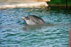 Un delfino bello che dà una occhiata dall'acqua dello stagno in un dolphinarium con un'aria abile guarda a partire da se stesso fotografia stock