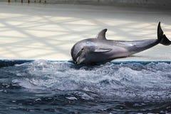 Un delfino che gioca nella sosta dell'acqua Fotografie Stock Libere da Diritti