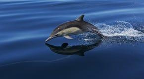 Un delfino comune di volo Fotografia Stock
