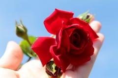 Un delicato rosso è aumentato sulla sua mano fotografie stock libere da diritti