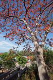 Un delonix regia in fioritura rossa in un parco nel Vietnam, nel mare di estate Fotografia Stock Libera da Diritti