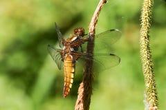 Un depressa Large-bodied assez femelle de Libellula de chasseur étant perché sur un roseau photo stock