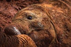 Un des nombreux jeunes éléphants orphant jouant dans la boue dans l'orphelinat d'éléphant de Sheldrick à Nairobi (Kenya) Photographie stock libre de droits