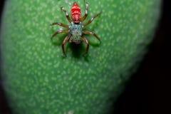 Un dessus d'araignée verte et rouge sur la mangue Images libres de droits
