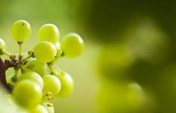 Un detalle de una uva del vino imagen de archivo libre de regalías