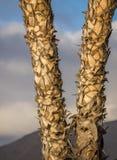 Un dettaglio di due palmtrees Fotografia Stock Libera da Diritti
