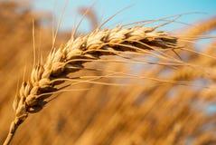 Un dettaglio di un orecchio del grano Immagine Stock Libera da Diritti