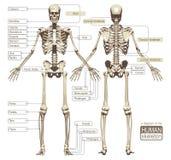 Un diagrama del esqueleto humano Imagen de archivo